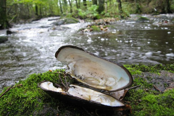 Freshwater pearl mussel is one of the endangered species that the will benefit of a free floating river.
